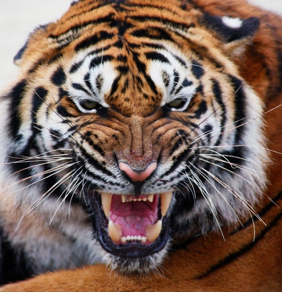CDanaT's avatar - tiger avatar_04_hd_pictures_169016.jpg