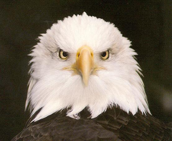 Old Eagle's avatar - bald13