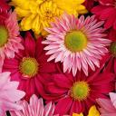 zinniagirl's avatar - flower avatar_0026.jpg